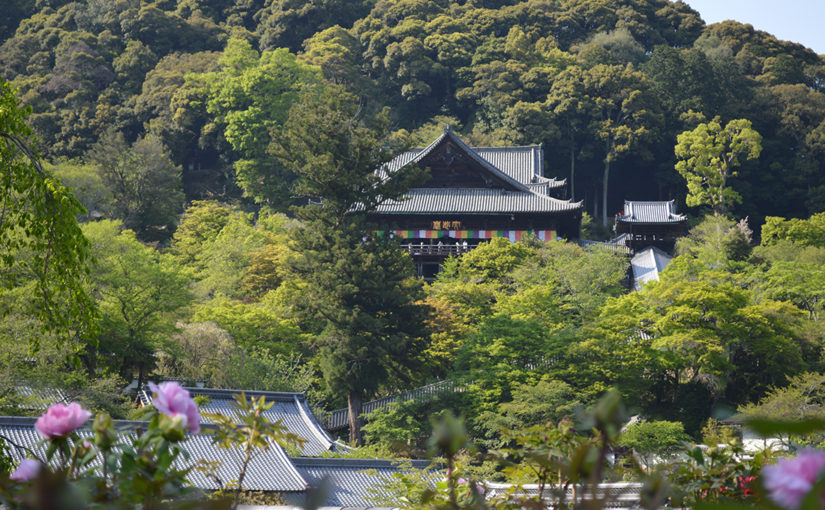 初夏の奈良観光(春日大社の藤、長谷寺のぼたん祭り)
